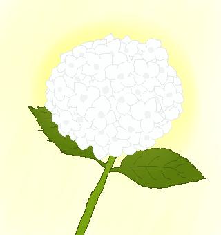 白いアジサイのイラスト