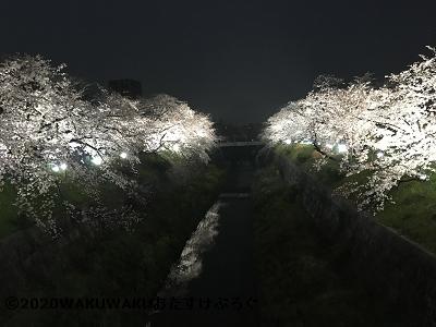 山崎川ライトアップ