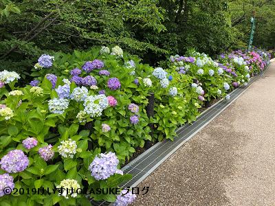 東山植物園のアジサイ