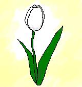 白いチューリップのイラスト