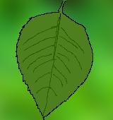 バラの葉のイラスト