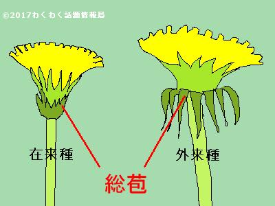 在来種タンポポと外来種タンポポの違いのイラスト