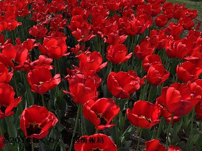 赤いチューリップアペルドーンの写真