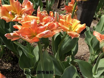 オレンジのチューリップディズニーランドパリの写真