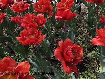 赤いチューリップフェアリードリームの写真