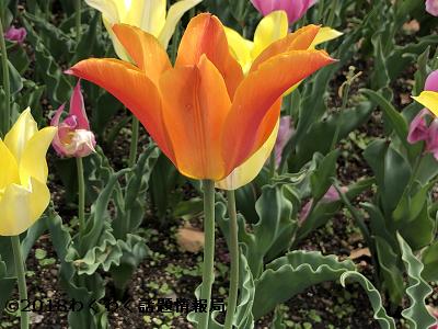 オレンジのチューリップバレリーナの写真