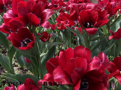 赤いチューリップレッドジョーゼットの写真