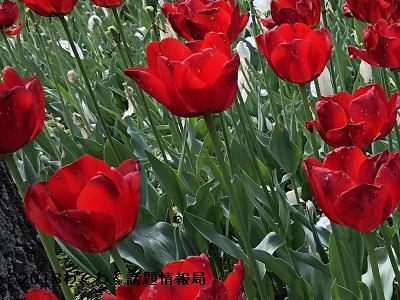 赤いチューリップベンバンザンテンの写真