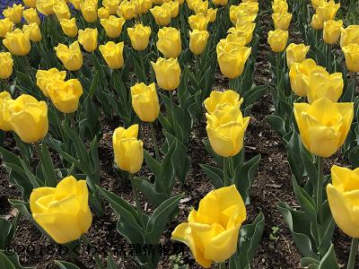 黄色いチューリップイエローフライトの写真