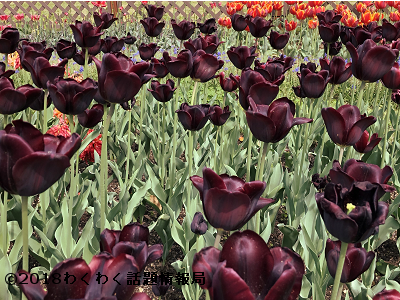 茶色のチューリップコンチネンタルの写真