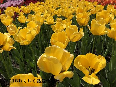 黄色いチューリップゴールデンアペルドーンの写真