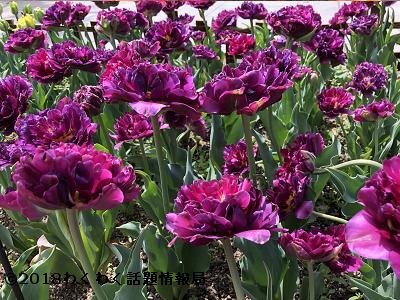 紫のチューリップポップアップパープルの写真