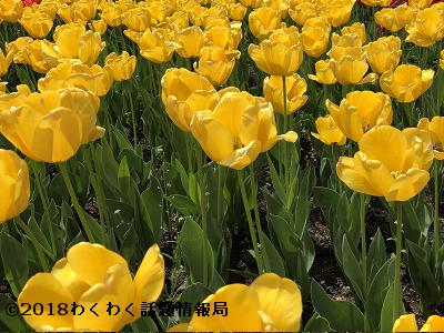 黄色いチューリップ黄小町の写真