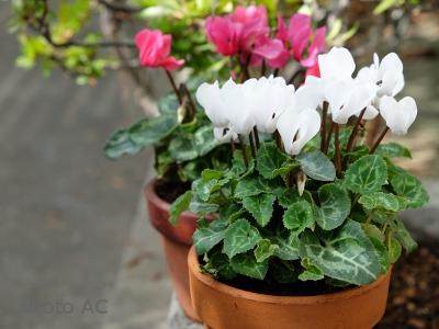 シクラメン鉢花の写真