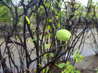木瓜の果実の写真
