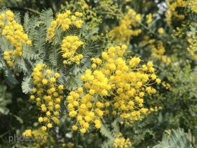 ミモザ花の写真