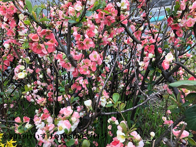木瓜の花の写真