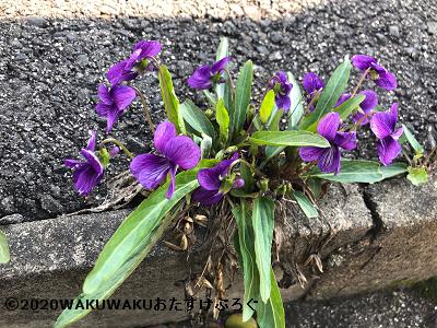 道端に咲くスミレの写真