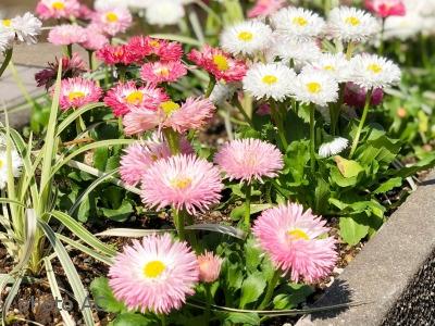 デイジー八重咲きの写真