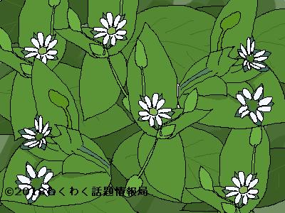 ハコベのイラスト