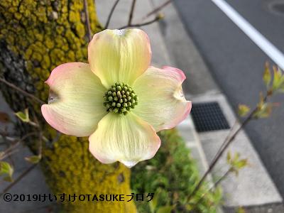 ハナミズキ花の写真