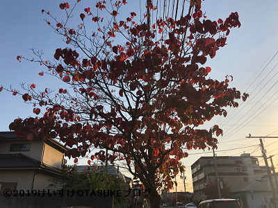 ハナミズキ紅葉の写真