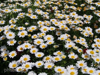 デイジーのお花畑の写真