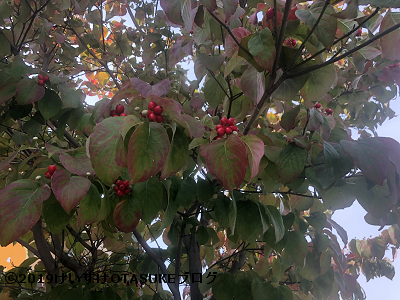 ハナミズキ果実の写真