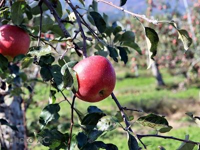 リンゴ果実の写真