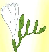 白いフリージアのイラスト