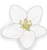 リンゴの花のイラスト