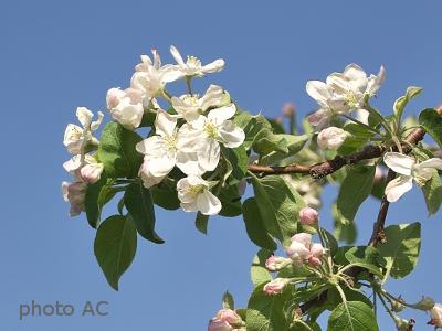 リンゴ花の写真