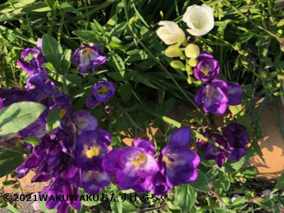 紫のフリージアの写真