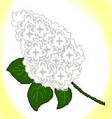 白のライラックのイラスト