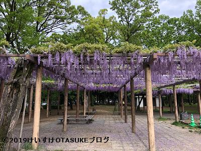名城公園のフジ