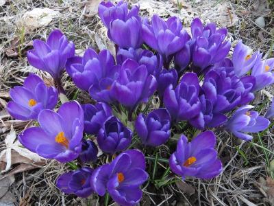 紫のクロッカスの写真