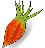 クチナシの果実のイラスト