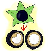オシロイバナ果実のイラスト