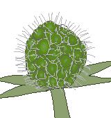花が散った後のスカビオサのイラスト