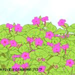 オシロイバナ(白粉花)の花言葉です!その由来は花の咲き方だった