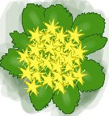 麒麟草のイラスト