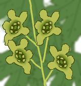 スグリの花のイラスト