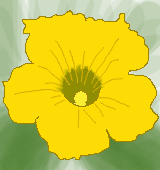 カボチャの花のイラスト