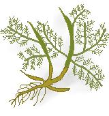 カモミール薬草のイラスト