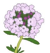 タイムの花のイラスト