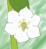 ホオズキの花のイラスト