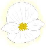 白いベゴニアのイラスト