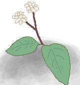 蔓蕎麦のイラスト