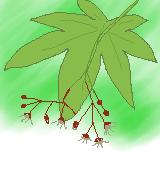 カエデの花のイラスト
