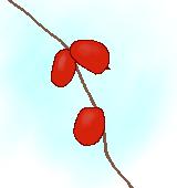 カラスウリの果実のイラスト